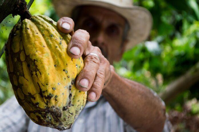 hombre recogiendo fruto del cacao