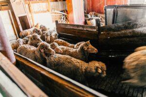 corderos en fila en una granja